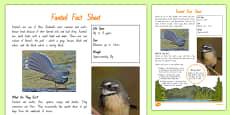 New Zealand Native Birds Fantail Fact Sheet