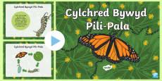 Pŵerbwynt Cylchred Bywyd Pili-Pala