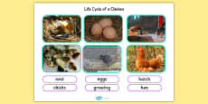 Life Cycle Of A Chicken Photo Cut Out Pack