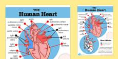 The Human Heart Diagram Display Poster