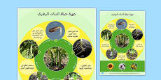 Flowering Plant Life Cycle Display Poster Arabic