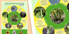 Flowering Plant Life Cycle Display Poster Romanian Translation