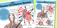 Human Body Heart Lungs and Blood Vessels Display Poster