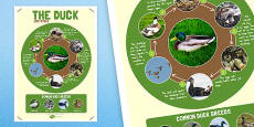 Australia - Duck Life Cycle Large Poster