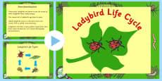 Australia - Ladybird Life Cycle PowerPoint