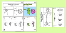 Parts of a Plant Foldable Interactive Visual Aid Template Romanian Translation