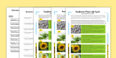 Sunflower Plant Life Cycle Differentiated Reading Comprehension Activity Polish Translation
