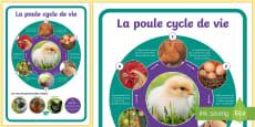 Grand poster : Le cycle de vie de la poule