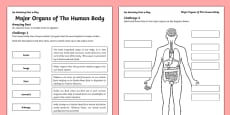 Major Organs of the Human Body Activity Sheet