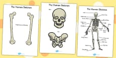 Human Skeleton Cut Outs (Common Names)