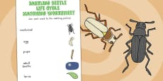 Australia - Darkling Beetle Life Cycle Word and Picture Matching Activity Sheet