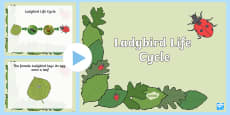 Ladybird Life Cycle PowerPoint
