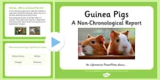 Non-Chronological Report Guinea Pigs PowerPoint