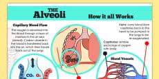 Human Body Lungs Air Sacs Alveoli Display Poster