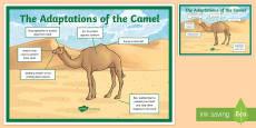 Camel Adaptation A4 Display Poster