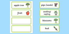 Apple Tree Life Cycle Word Cards