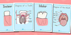 Teeth Diagram Display Posters