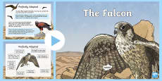 The Falcon History and Adaptations PowerPoint
