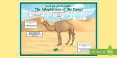 Camel Adaptations A4 Display Poster Arabic/English