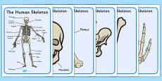 Human Skeleton Display Posters Scientific Names