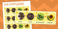 Sunflower Life Cycle Photo Strip