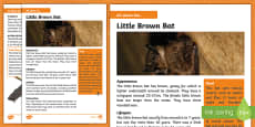 Little Brown Bat Fact File