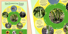 Flowering Plant Life Cycle Display Poster Polish Translation