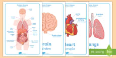 Human Body Organs Display Posters - English/Portuguese