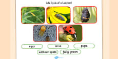Life Cycle of a Ladybird Photo Cut Out Pack