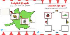 Ladybird Life Cycle Activity