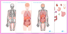 Large Human Body Organs For Skeleton