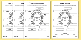 Teeth Labelling Activity Sheet