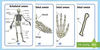 Scheletul uman Planșe - scheletul uman, stiinte, științe, corpul uman, schelet, lumea vie, animale, corpul omenesc,Romania