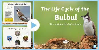 Life Cycles: The Bulbul PowerPoint - All About Bahrain, National Bird, Life-Cycles, Bulbul, Bahrain, animals