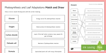 Photosynthesis Match and Draw - Match and Draw, biology, photosynthesis, leaf adaptations, leaf, palisade, chlorophyll, chloroplast, starter activity
