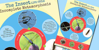 Insect Dragonfly Incomplete Metamorphosis Life Cycle Poster