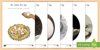 New Zealand Birds Eggs Activity - birds, Aotearoa, living world, nest, eggs, activity, matching