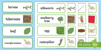 F-2 Silkworms Word Cards - silkworms, Australia, life cycles, mulberry, min beasts, vocabulary, key, words