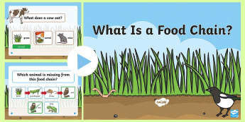 KS1 Carnivore Food Chain Information PowerPoint - carnivorous, animals, predator, prey, food-chain, food-chains, mammals, science, year 1, year one ,