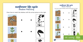 Sunflower Life Cycle Matching  Activity Sheet - Life Cycle of a Sunflower Display Posters - Bean, growth, plant, life cycle, lifecycle, display, ban