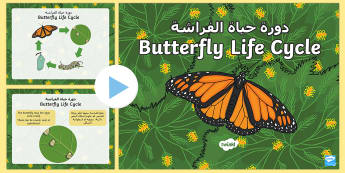 Butterfly Life Cycle PowerPoint Arabic/English - Butterfly Life Cycle Powerpoint - butterfly life cycle, butterfly life cycle powerpoint, butterfly p