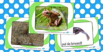 Ciclul de viata la Broasca, cartonase cu fotografii si cuvinte, Romanian