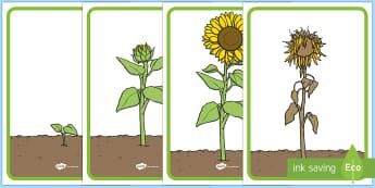 Posteri Arddangos Cylch Bywyd Blodyn Haul - Blodyn haul, blodau haul, hedyn, ffrwythlonni, egino, sunflower, sunflowers, seed, germination, ,Wel