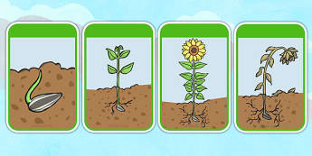 Sunflower Life Cycle Flashcards - sunflower, cycle, flashcards