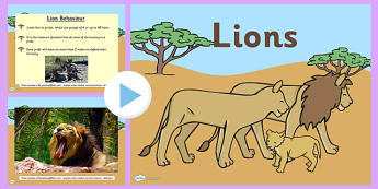 Safari Lion Information PowerPoint - safari, on safari, safari powerpoint, lions, lion, lion powerpoint, lion information powerpoint, lion facts powerpoint