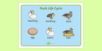 Duck Life Cycle Word Mat - duck, life cycle, word mat, animal, bird