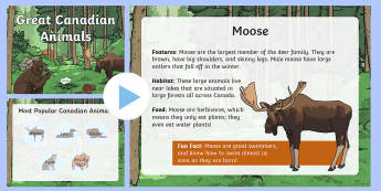 Great Canadian Animals PowerPoint - Great Canadian Animals, grizzly, bear, grizzly bear, lynx, moose, loon, beaver, habitat, animal feat