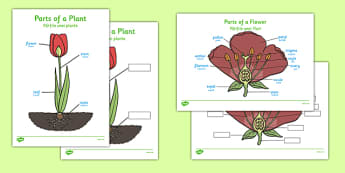Parts of a Plant Romanian Translation - nature, science, growth, leaf, petal, language, translated, activity, sheet, work