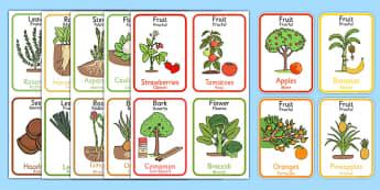 Edible Plant Parts Flash Cards Romanian Translation - romanian, edible plant, plant parts, flash cards