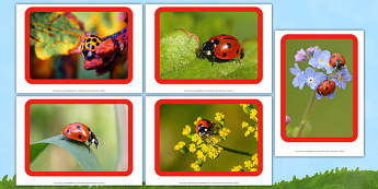 Ladybugs Photo Pack -EYFS, Early Years, minibeast, insect, creature